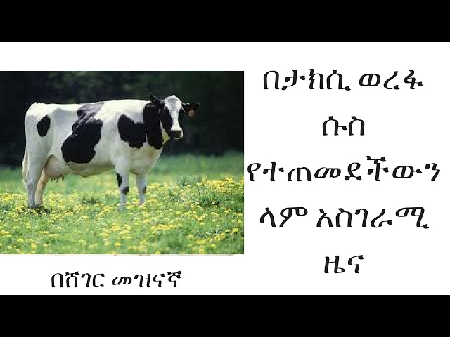 Cow Addicted with Addis's Taxi Queue