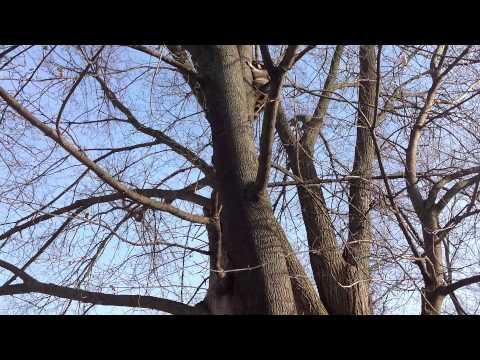 Raccoon climbing tree