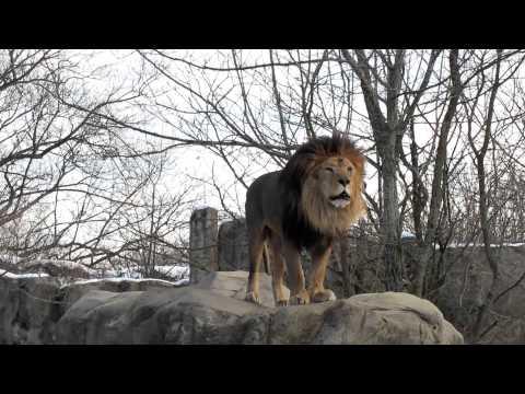 A Gorgeous Male Lion Roaring video