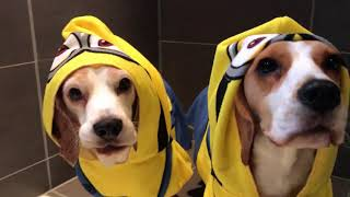 🍌MINION DOGS vs BATH🍌 : Funny Dogs Louie and Marie
