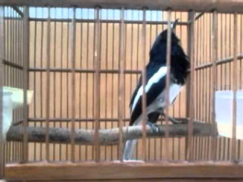 Master Kicau Burung Kacer video