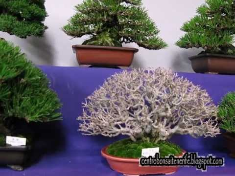 Bonsai market at the Green Club Part 3,. Kokufu Bonsai Ten