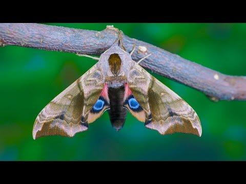 Smerinthus ocellata - Nastrosz półpawik - Abendpfauenauge - Eyed Hawk-moth
