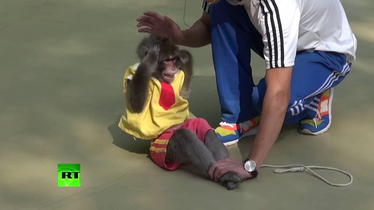 Monkeys perform stunts, handstands & even sit-ups in China