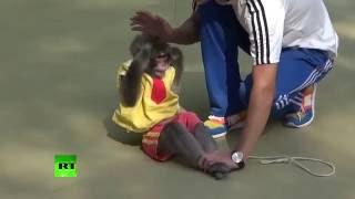 Monkeys perform stunts, handstands & even sit-ups in China