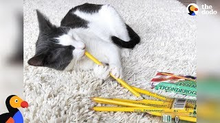 Cat Loves Stealing Pencils- PIPPA | The Dodo