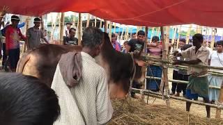 চরম Goru Paglami Qurbani Hat Uttara