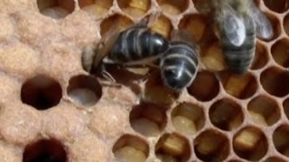 Las abejas . Lo que hay que saber sobre las abejas y la miel