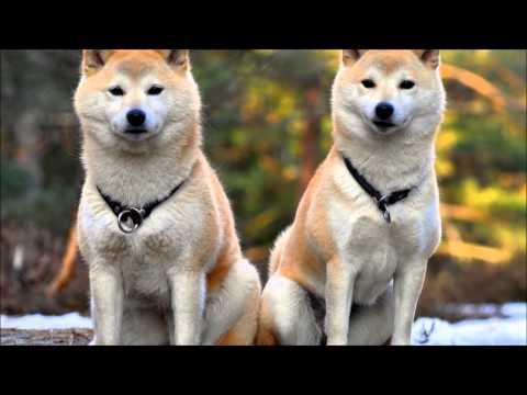 強く美しい日本犬、秋田犬の映像をたっぷりと。