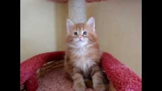 maine coon Easy Rider MON AMOUR COON*UA - 7 weeks - 3