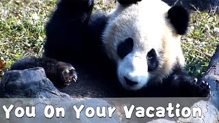 Panda Relaxing On His Vacation | iPanda
