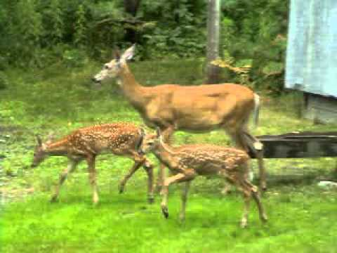 Beautiful Doe and Fawns Outside of Cabin