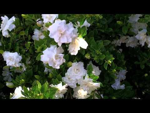 Gardenia cuidados (2). Junio 2011