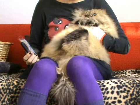 Persian Cat Janelle hates being groomed - YouTube