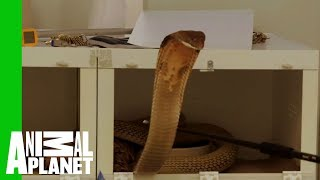 This Huge Deadly King Cobra Does Not Want To Cooperate With Zookeepers