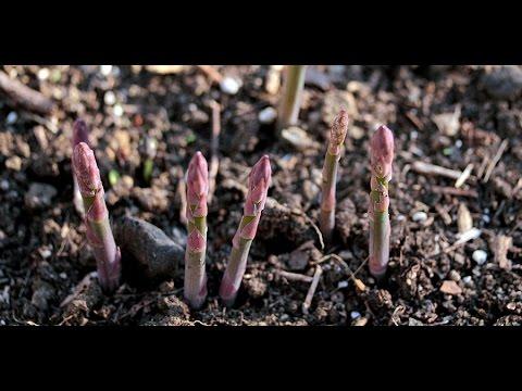 O aspargo ou espargo (Asparagus officinalis) é uma planta perene que atinge de 30 cm a até 1,5 m de altura. São os brotos que emergem da terra na primavera que são colhidos e utilizados...