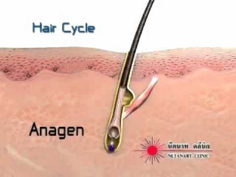 the process of hair growth and hair loss on a human body