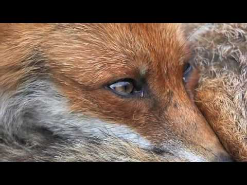 The Cry of a Fox