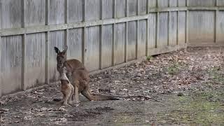 Meet Potter Park Zoo's new baby kangaroo