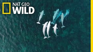 See Hundreds of Beluga Whales Gathering in the Arctic   Nat Geo Wild