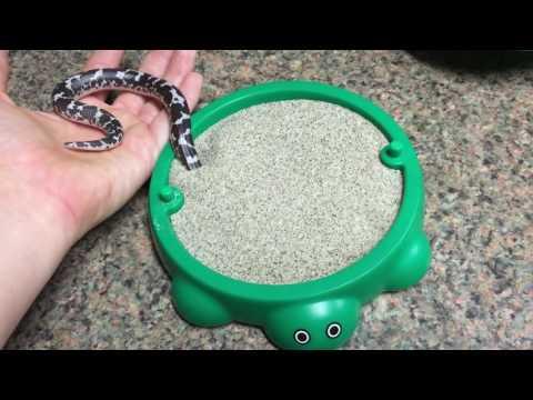 Wafle, una boa de arena, jugando con su juguete nuevo.