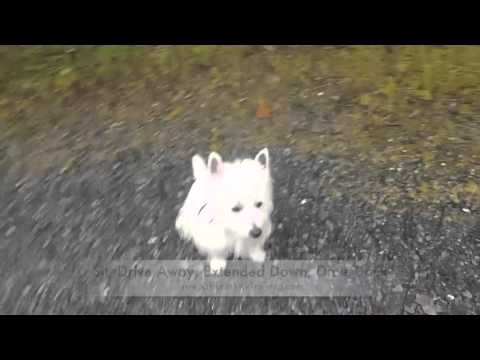 Check out 1-Year Old Westie, Bianca! Amazing Small Dog Trainers in