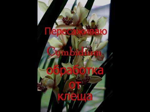 Пересаживаю новую орхидею Цимбидиум.Высокая посадка.
