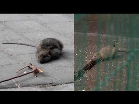 Plaga Szczurów We Wrocławiu,