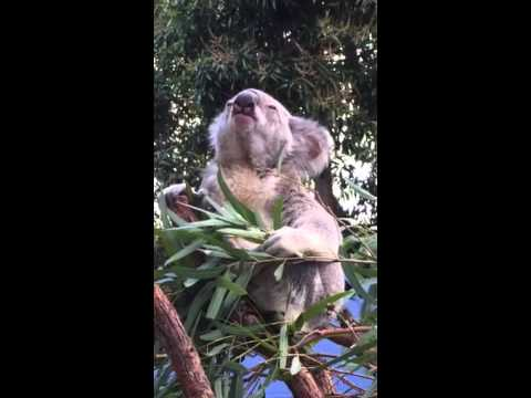 Breakfast with Koalas