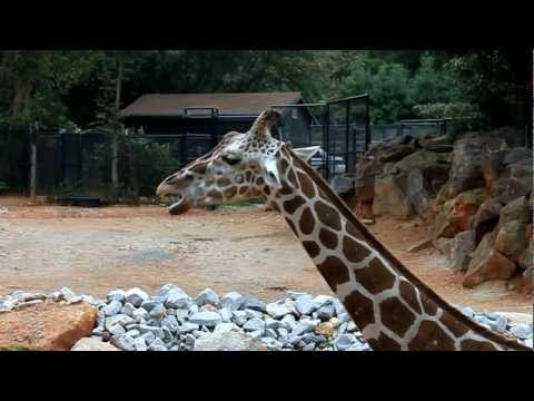 African Giraffe's Eating and Socializing at the Atlanta Zoo coming very close to the camera