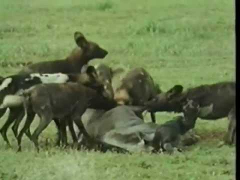 Vida Selvagem - Os Cães Selvagens da África - Parte 2 / 5