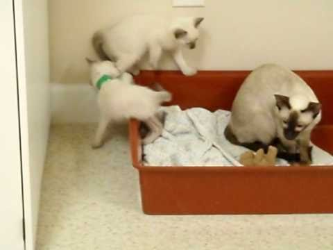 Kitten hide and seek game- siamese kittens playing- cat babies- adorable kitten video
