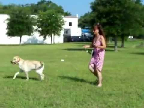 Secrets to Dog Training  - Labrador Training tips and tricks - Dog Training, Dog Training Videos