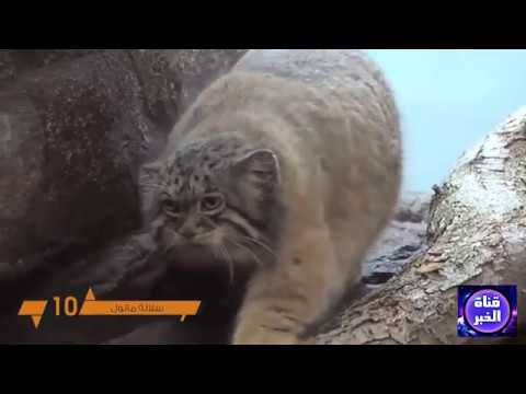 اخطر 10 سلالات قطط في العالم لا تربي مثلهم في المنزل..!! thumbnail