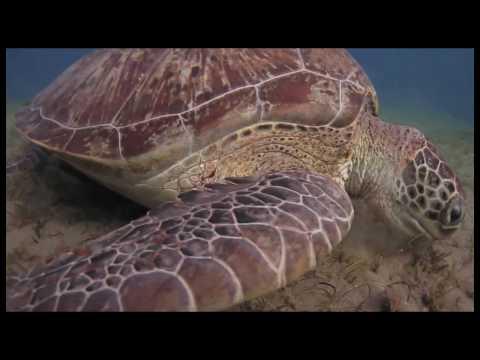 Giant Green Sea Turtles