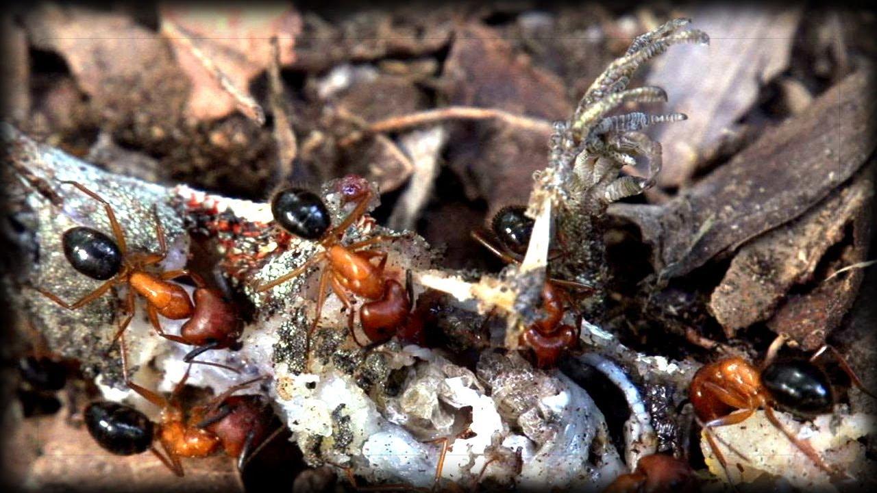 Lizards Eat Ants Fire Ants vs Lizard 01