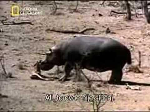 Hipopótamo intenta salvar  a un impala