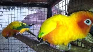 sun conure in (Preethi Farms)