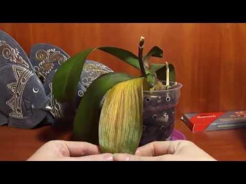 Как снять пожелтевший лист у орхидеи