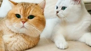 How a Wife Cat talks with her Husband Cat? 😍  The two Talking cats
