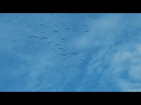 Лелеки летять в теплі краї