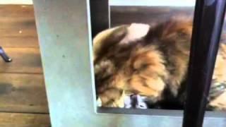 Adoption Chat Sos Siamois sans toit  ginger jolie siamoise
