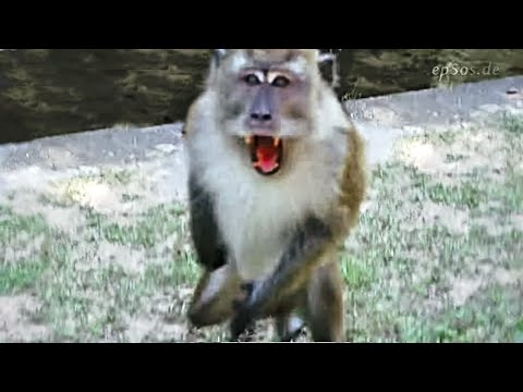Angry Monkeys Fighting Angry Monkey Attacking