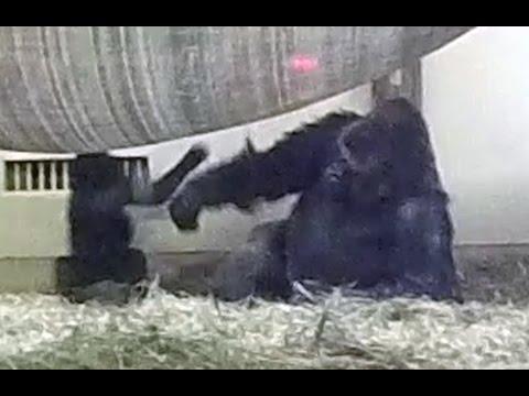 Silverback gorilla punches his son.