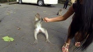 [Monkey Forest Bali UBud - GoPro HD] Video