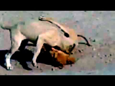 Dogs Fighting - Dominance Fight video