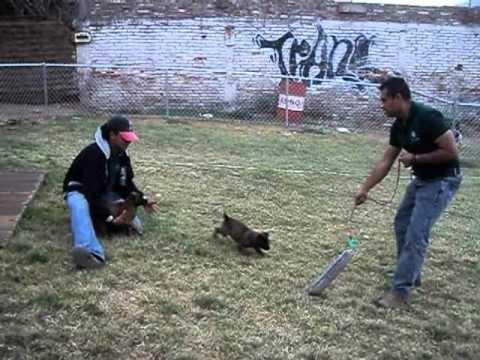entrenando pastores belga