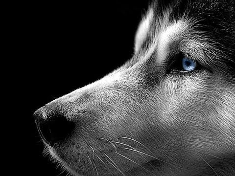 husky Facts, information, pictures | Encyclopedia.com articles about ...