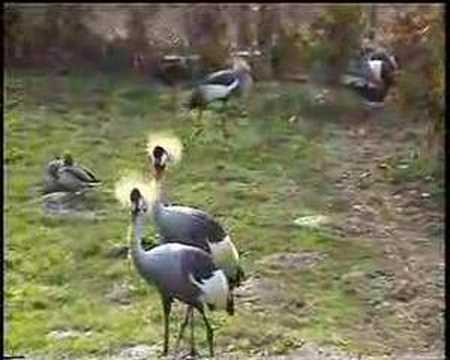 Grey Crowned Crane Video