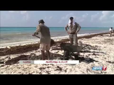 Mexico to clean up mounds of seaweed on Caribbean coast | World | News7 Tamil |
